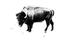 IMGP5751-Edit.jpg (PenTex) Tags: buffalo winter montana bison yellowstone snow