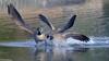 Canada Geese Fighting (david byng) Tags: 2018 winter vancouverisland pacificocean birds canada britishcolumbia colwood esquimaltlagoon