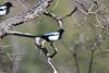 Durango - black-billed magpies (LilTexican) Tags: magpie lifelist