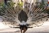 PAVONE BACK    ----    PEACOCK : THE BACK (Ezio Donati is ) Tags: natura nature uccelli birds animali animals foresta forest acqua water alberi trees africa costadavorio areadeslagunesabidjan