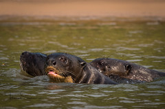 3 (tsd17) Tags: giant river otter piquiri pantanal wildlife ngc fantastic