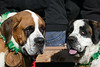 A Pair of Saints (Colorado Sands) Tags: stpatricksparade denver colorado parade irishparades festive event stpats us americanparades usa america stpaddys sandraleidholdt march 2018 stpatricksdayparade stpatricksday american parades unitedstates celebration pet dog stbernard barrel coloradostbernardrescue rescuedog