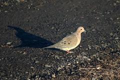 Mourning Dove Walking On Driveway 005 - Zenaida Macroura (Chrisser) Tags: birds bird doves dove mourningdoves mourningdove zenaidamacroura nature ontario canada canoneosrebelt6i canonef75300mmf456iiiusmlens columbidae