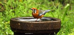 IMG_0725 White-throated Ground Thrush (Geokichla citrina cyanotus) (vlupadya) Tags: greatnature bird animal aves fauna ndianbirds whitethroated ground thrush geokichla kundapura karnataka