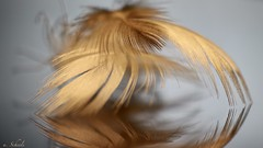 ... the three feathers (u. Scheele) Tags: makro macro macromondays mm macromandays hmm feather feder schärfentiefe spiegelung reflection canon canoneos80d closeshot closeup eos80d eos digital tamron indoor yaylanmak federn feathers downfeathers plumesduvet κάτω φτερά plumas abajo tüyler tale fable galeriebild