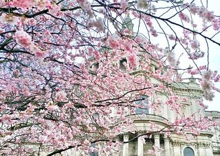 St. Paul's Sakura