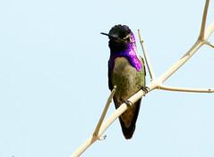 Costa's Hummingbird -- Male (Calypte costae); Catalina, AZ, [Lou Feltz] (deserttoad) Tags: nature arizona bird wildbird wildlife songbird hummingbird desert flower bloom flight ocotillo