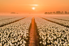 Rivers of gold (Ellen van den Doel) Tags: 2018 tulpen natuur landscape nature mist bulbs nederland outdoor bollen morning zonsopgang landschap bollenveld zonsopkomst tulip sunrise netherlands bollenstreek fog field early april portfolio1 zoomnl