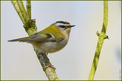Roitelet triple-bandeau ( Regulus ignicapilla ) (Le Papa'razzi) Tags: perchoir passereau oiseau roitelet plumage nikon d500 300mmf4