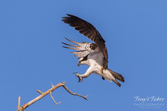 Male Osprey landing sequence - 15 of 28