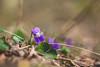 Violet... (Hasan Yuzeir 📷) Tags: violet flower macro focus hasanyuzeir canon 1300d spring forest
