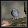 KUS850-8132 (Weinstöckle) Tags: vogel heckenbraunelle