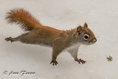 A very curious little Squirrel (Anne Marie Fraser) Tags: curious curiosity squirrel redsquirrel red americanredsquirrel cute snow winter nature wildlife little