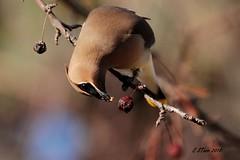 IMG_0670 cedar wax wing (starc283) Tags: starc283 flickr flicker wildlife canon canon7d finch flora bird birding birds nature naturesfinest nebraska naturewatcher outdoors outdoor