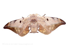 Mustilia dierli (Corné van der Linden) Tags: cornévanderlinden borneo malaysia sabah march 2018 bombycidae mustiliadierli mountkinabalu