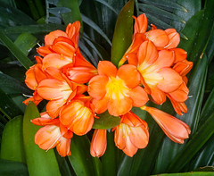 Orange Clivia (tresed47) Tags: 2018 201803mar 20180314longwoodflowers canon7d chestercounty clivia content flowers folder longwoodgardens macro march pennsylvania peterscamera petersphotos places ringflash season takenby technical us winter