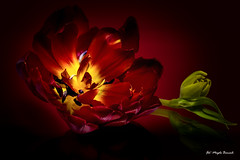Burning tulip (Magda Banach) Tags: canon canon80d sigma150mmf28apomacrodghsm colors flora flower green macro nature plants red tulip yellow