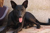 Winky pup (rjmiller1807) Tags: pup dog doggy puppy 2018 february shelter epping capetown sheltershots rescuedog adoptdontshop canoneos70d canon rescue adoptarescue blackdog tongue wink cheeky