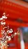 The plum blossoms in Kitano Tenmangu Shinto Shrine 2018/03 No.10(taken by film camera). (HIDE@Verdad) Tags: nikonf nikkorsauto55mmf12 nikkorauto nikkors nikkor nikon ニコン fujifilm rdpiii