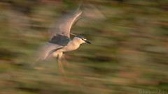 Black-crowned Night Heron (Nycticorax nycticorax) (ER Post) Tags: bird blackcrownednightheronnycticoraxnycticorax florida2018 heron trips venice florida unitedstates us