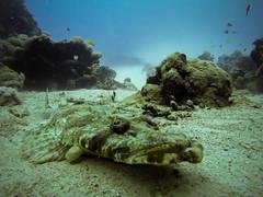 Crocodilefish in the Red Sea (Niklas FliNdt) Tags: flat crocodile fish crocodilefish ägypten egypt red sea redsea underwater diving gopro water marsaalam coraya flathead warm sun summer travel vacation