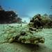 Crocodilefish in the Red Sea