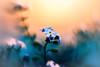 Morning Dreams (Marcello Velasco) Tags: flower macrophotographer macrophotography macro macrophotograph flowerphotography