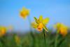 Daffodils in the Park (pallab seth) Tags: macro dof spring flower barking park england london signofspring bokeh nature daffodil garden springgarden barkingpark yellow blue samsung60mmf28macroedoisssalens samsungnx1