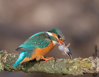 Kingfishers in Spring
