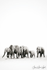 Etosha National Park, Namibia (Jean-Marc Vogel Photography) Tags: nb noiretblanc noir blanc nero blanco schwarz weiss black white bw blackandwhite elephants etosha national park namibia namibie