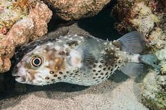 Yellowspotted Burrfish - Cyclichthys spilostylus (zsispeo) Tags: actinopterygii cyclichthys diodontidae osteichthyens teleostei tetraodontiformes spilostylus redsea egypt eg