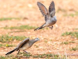 Zebra Dove - Fighting or mating .... (7DC_5845-1)