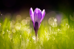 Sparkling Springtime (der_peste (on/off)) Tags: crocus flower macro bokeh blur bokehballs spring springtime depthoffield dof color beautiful sonya7 samyang1352 135mm