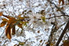18o8199 (kimagurenote) Tags: 桜 sakura cherry blossom prunus cerasus flower tree 多摩森林科学園 tamaforestsciencegarden 東京都八王子市 hachiojitokyo