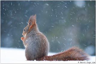 Red squirrel / Ekorn