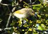 Juvenile Brown Honeyeater (Greg Miles) Tags: brownhoneyeater lichmeraindistincta scottshead park gaagalwanggaannationalpark