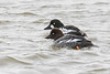 Common goldeneye 2018-04-07_02 (Eva Landgren) Tags: nikond500 nikon natur nature wildlife wetland wetlands outdoor bird birds fåglar fågel fauna aves animal animals avifauna halland getterön getterönnaturerereserve sverige sweden djur änder and duck ducks dykand divingduck commongoldeneye goldeneye knipa bucephalaclangula