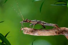 Borneo Thorny Stick Insect, Captivelight, Bournemouth, UK