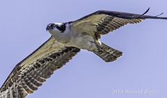 Osprey IMG_8059 (ronzigler) Tags: osprey flight raptor bird nature avian animal birdwatcher wildlife