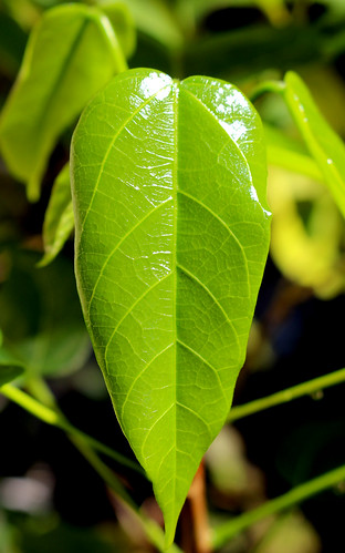 Peanut tree (Sterculia quadrifida)