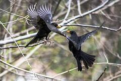 Blackbird fighting (CsiziPhoto) Tags: nikkorpauto105cmf25 nikon d610 blackbird