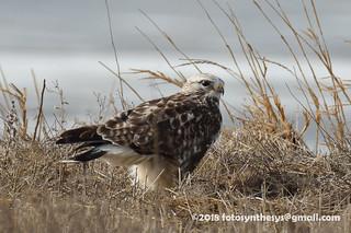 Rough-legged Hawk (Buteo lagopus sanctijohannis), light adult male DSC_7013