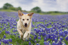 Ginger 14/52 (Tracy Allard Photography) Tags: 52weeksfordogs bluebonnet texas