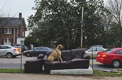 No. 110 of #sofasinthewild (moke076) Tags: nikon d7000 fawn dog animal pet moose great dane couch sofa abandoned sofasinthewild atlanta georgia sideoftheroad trash sidewalk druidhills druid hills stacked mattress leather cars busy street road
