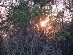 Tuesday Evening. (dccradio) Tags: lumberton nc northcarolina robesoncounty sunset settingsun pinecone branch branches tree trees sticks treebranch treebranches treelimbs sun sunlight outdoors outside sunshine light evening backyard canon powershot elph 520hs