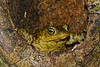 Common Toad (john neal photography) Tags: commontoad toad amphibian nature wildlife dorset