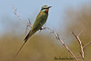 BLUE-CHEEKED  BEE-EATER //  MEROPS  PERSICUS  (34-37 CM) (tom webzell) Tags: naturethroughthelens