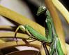 Seducción de la Mantis (Juan Pedro Gómez-51) Tags: mantis mantisreligiosa insecto insect santateresa mamboretá insectomantodeo mantidae concepto conceptual conceptualismo conceptualism metáfora metaphor macrofotografía macro verde green