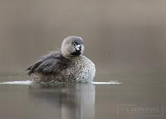 Pied-billed Grebe (T L Sepkovic) Tags: piedbilledgrebe grebe duck waterfowl migration canon 5dmkiv water lake wildlife