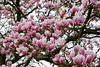Magnolia (Ineke Klaassen) Tags: magnolia flowers flora flower floral fleurs 7dwf bloemen bloem magnolias tree nature natuur natur natuurfotografie natura natuurfoto niftrik sony sonyimages sonya6000 sonyalpha sonyalpha6000 sonyilce6000 ilce mirrorless gelderland netherlands nederland outdoor bloom blooming bloeien geldersestreken pink springflower springflower2018 sos smileonsaturday blossom 50100fav 50faves 5075fav 50fav 55210mm 60faves 60fav zoomnl 1000views